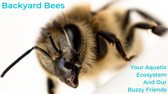 Backyard Bees – Your Aquatic Ecosystem And Our Buzzy Friends